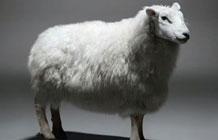 玛莎秋装广告 看一只羊静静炸成毛衣